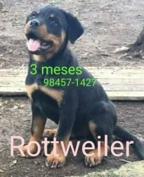 Rottweiler 3 meses