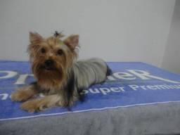 Yorkshire Terrier Kennel Wobeto