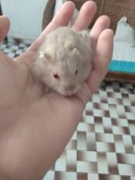 Vendo hamster marrom anão russo fêmea