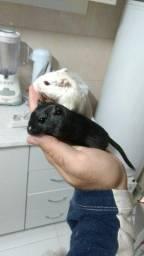 2 gerbil femea com gaiola
