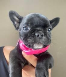 Bulldog Francês Fêmea ja vacinada e vermifugada