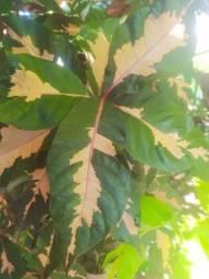 Linda muda de árvore ornamental