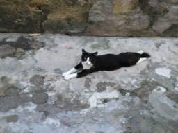 Gato macho para adoção solidária(Frajolinha).