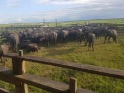 Vendo búfalo para abate, imagem ilustrativa.