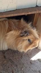 Estou doando um porquinho da india peruano