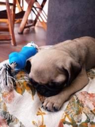 Pug mini c pedigree