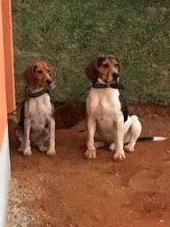 Beagle com americano vendo filhotes