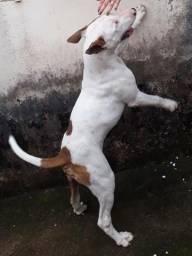 Vendo Bull Terrier 1.000 Reais