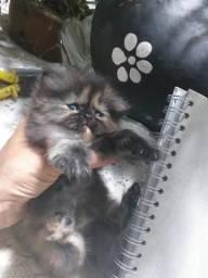 Brlissimos filhotes de gatos persa golden