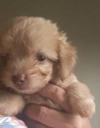 Vendo poodle toy 2