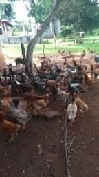 Galos, frangos, frangas e galinhas á venda