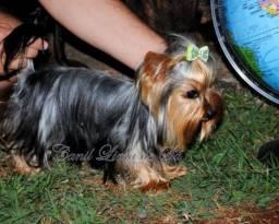 Yorkshire Terrier fêmea mini