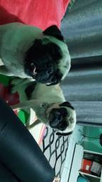 Vendo casal de Pug
