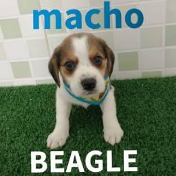 Filhote de Beagle macho disponível na MK DR PET