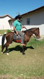 Vendo cavalo puro de marcha picada