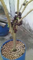Jaboticaba no jarro com frutos
