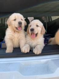 Filhotes de Golden Retriever com Pedigree disponíveis para retirada