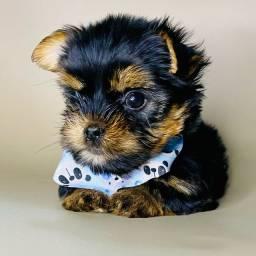 Yorkshire terrier - O verdadeiro