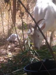 3 cabras Saanen Sane Saane