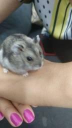 Hamster anão russo filhotes e adulto, preço para retirar no local