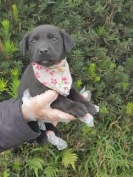 Labrador machos e fêmeas com garantias e suportes exclusivos!