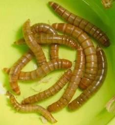 1000 Larvas de Tenebrio Molitor - Pernambuco