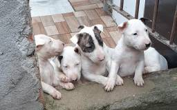 Vendo filhotes de Bul terrier puro