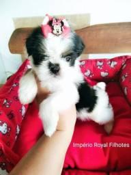 Lindos Bebezinhos de Shihtzu * Império Royal* Temos Fêmea e Machinho