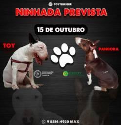 Filhotes de bull terrier /com pedigree