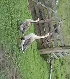 Vendo casal de ganso sinaleiro africano