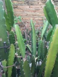 Mudas pitaya  branca 30 cm