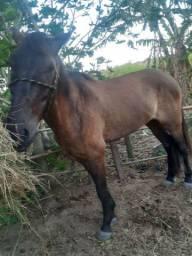Vende-se ou troco cavalo QM
