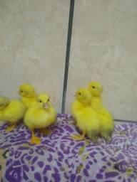 Filhotes de Patos