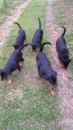 Filhotes de rottweiler 600,00