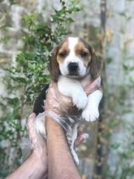 Beagle-lindos e saudáveis