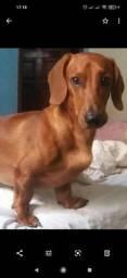 Dachshund ou teckel, também apelidado de cachorro salsicha,