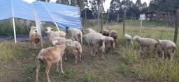 Vendo carneiros