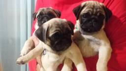 Lindos Filhotes de Pug