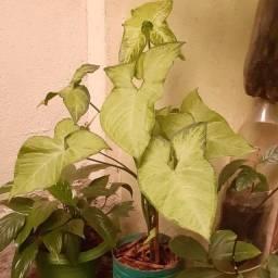 Planta ornamental (singonio)