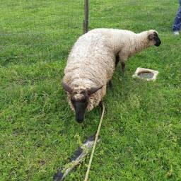 Barbada ovelha  e carneiro