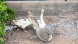 2 gansos macho e 1 fêmea e 9 ovos