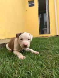 Pitbull macho