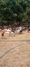 Cabritos e Cabras
