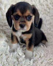 Beagle última fêmea pronta super pequena e linda