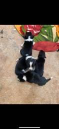 Vende-se filhote de Border Collie
