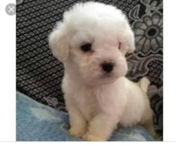 Quero comprar filhote de poodle