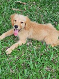 Linda  Golden Retriever