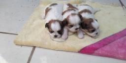 Filhotes machos de lhasa apso