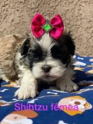 Belíssima Shih Tzu