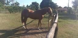 Cavalo QM com Inglês